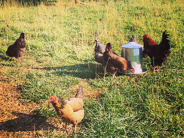 various chicken at the farm