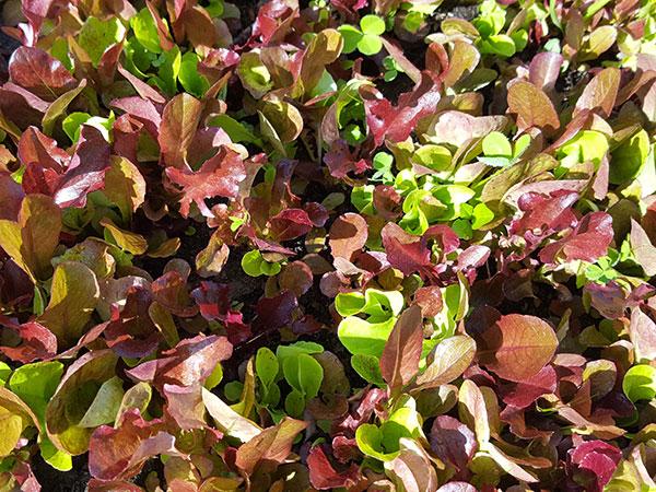 lettuces grown in the garden